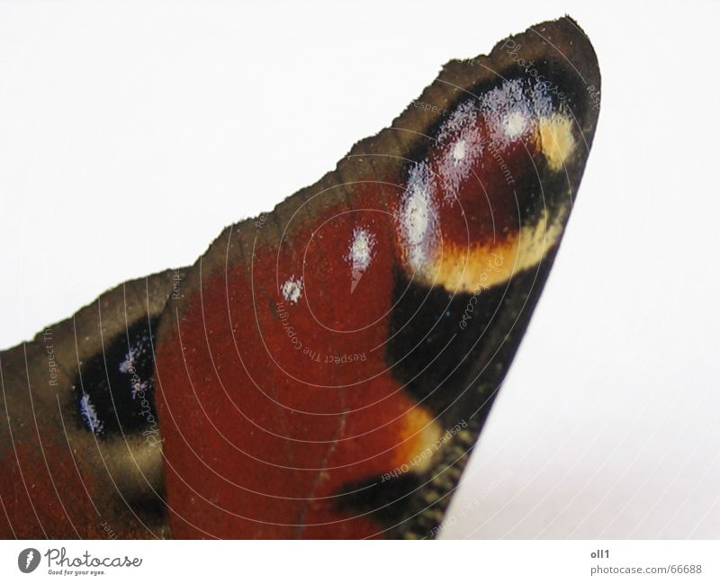 Butterflügel Natur rot Sommer gelb braun fliegen Schmetterling Tier