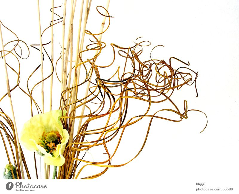 Geschlinge Trockenblume Pflanze durcheinander Stil Knoten gelb gestellt skuril getrocknet niggl