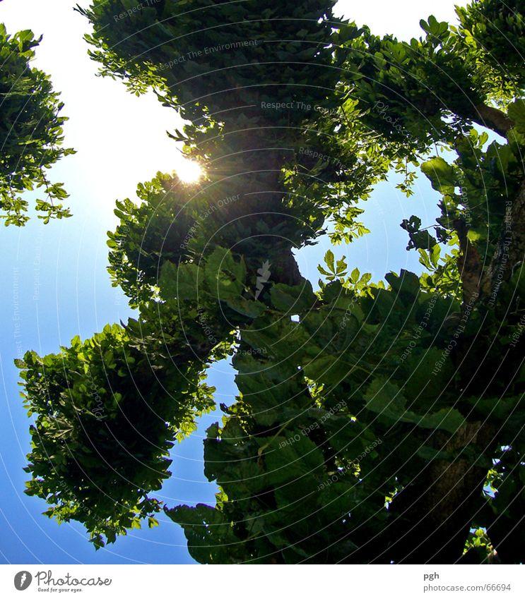 Im Biergarten nach oben schauen Baum grün Blatt Sommer Himmel blau Ast Zweig Sonne