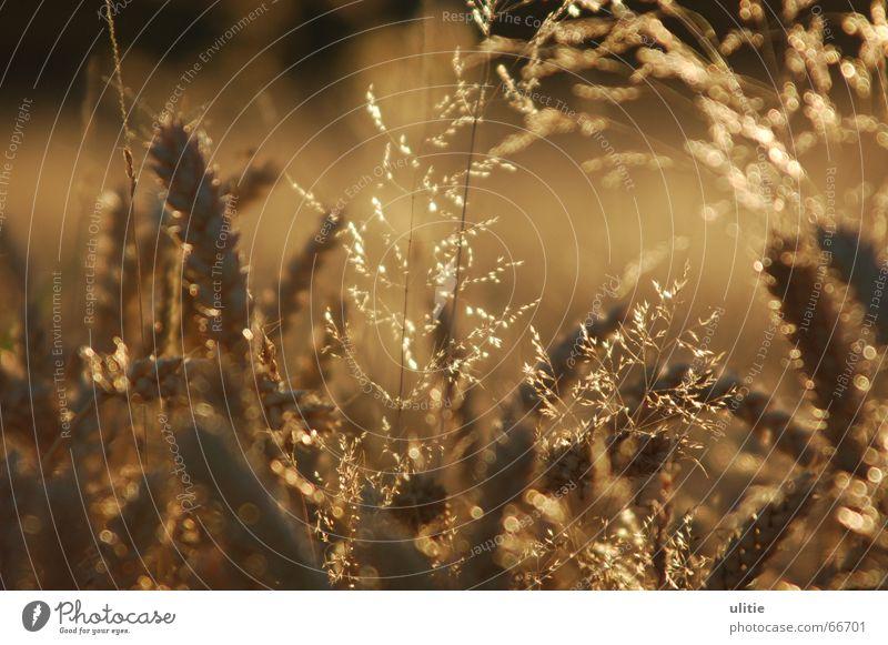 Weizenfeld Gras Sommer Ernte Licht Gegenlicht Unschärfe braun glänzend Getreide Schatten