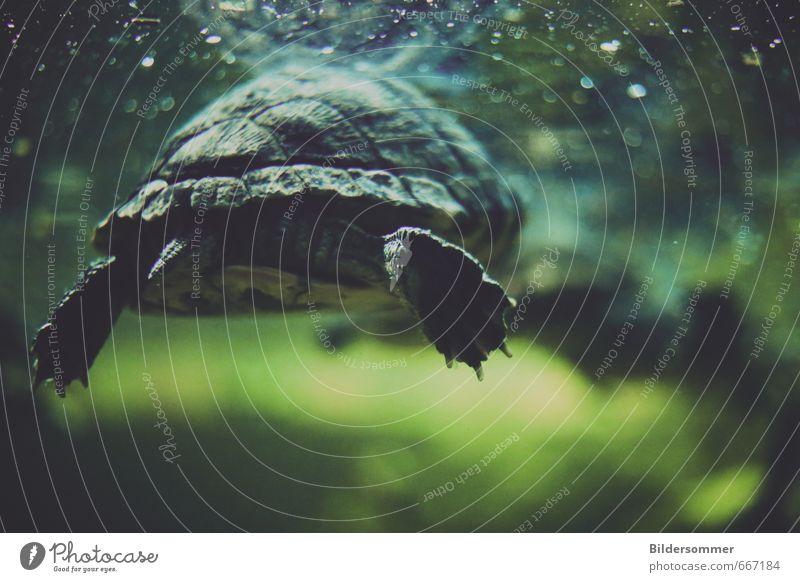 abgetaucht Tier Wasser Fluss Wildtier Krallen Aquarium Schildkröte Schildkrötenpanzer 1 Schwimmen & Baden tauchen exotisch nass blau grau grün schwarz