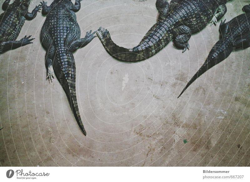 in good company Tier Wildtier Schuppen Zoo Aquarium Alligator Krokodil Echsen 4 Tiergruppe Leder Erholung liegen schlafen bedrohlich exotisch wild braun grau