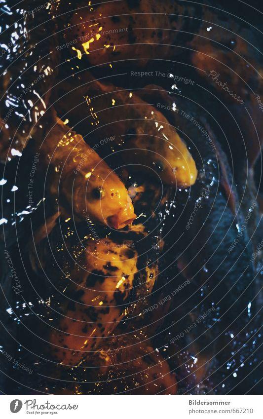 Nishikigoi Teich Tier Fisch Schuppen Zoo Aquarium Koi Tiergruppe Wasser füttern Schwimmen & Baden ästhetisch reich schleimig blau gelb orange schwarz Erfolg