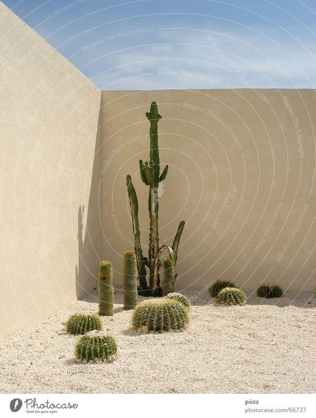 Kakteen Sommer Garten Pflanze Sand Wärme Kaktus Mauer Wand heiß stachelig blau gelb grün Leverkusen Mexiko Farbfoto Außenaufnahme Menschenleer
