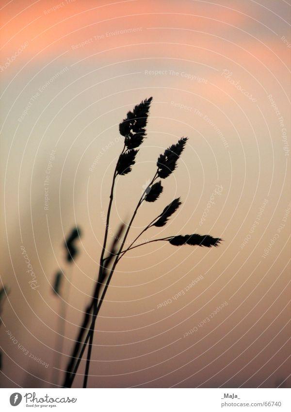 aufrecht Gras Sonnenuntergang Halm Gegenlicht Wolken Wiese Himmel Abend