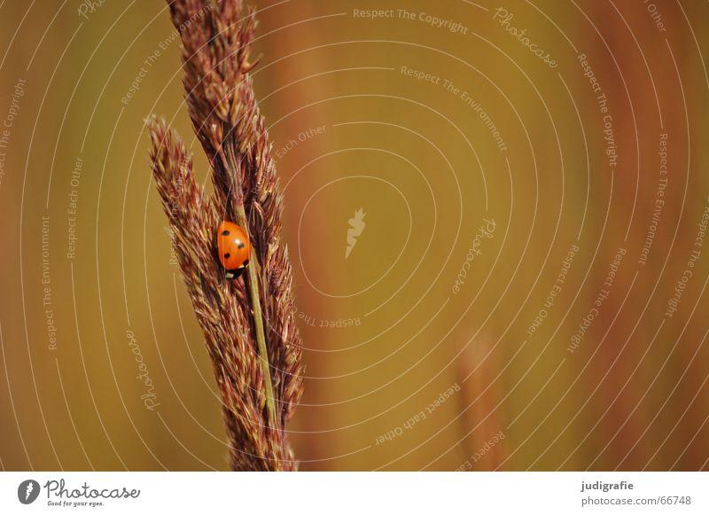 Sommer 2 einschläfernd ermüdend Physik Halm Gras Marienkäfer schwarz braun krabbeln abwärts Blick nach unten Insekt Stengel Grünfläche Käfer Wiese grün