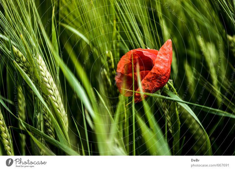 Mohn im Kornfeld Umwelt Natur Tier Sommer Herbst Schönes Wetter Pflanze Blume Blüte Grünpflanze Nutzpflanze Mohnblüte Getreide Getreidefeld Roggen Ähren