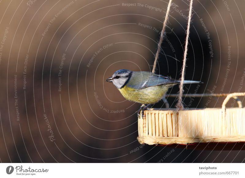 Blaumeise standinf auf der Saatgutzuführung schön Winter Garten Natur Tier Vogel sitzen klein natürlich wild blau gelb Überleben Tierwelt Zuführung Lebensmittel