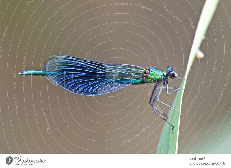 Blauflügel-Prachtlibelle (Männchen) Natur blau Sommer Gras See fliegen Halm Libelle Insekt