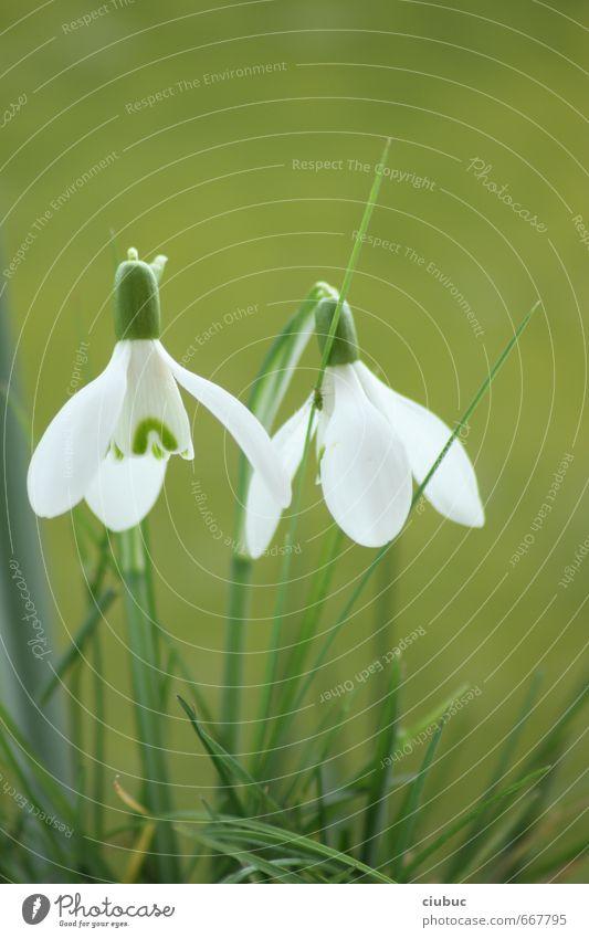 spring-time Natur Pflanze Sonnenlicht Frühling Blume Gras Blüte Grünpflanze Wildpflanze Schneeglöckchen Garten Park Wiese Frühlingsgefühle Farbfoto
