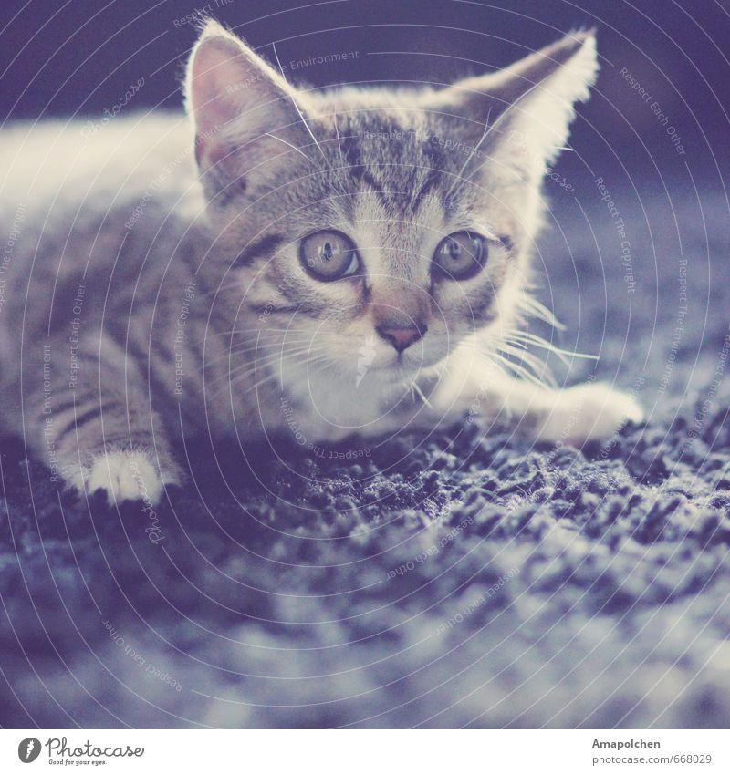 ::14-2:: Tier Haustier Katze Tiergesicht Fell Pfote Tierjunges Geborgenheit Augenfarbe Tierheim Blick liegen Katzenauge Teppich Tierhandlung Hauskatze