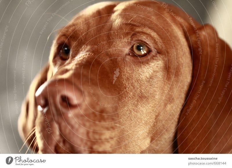STUDIO TOUR | Treue Augen brünett kurzhaarig Tier Haustier Hund 1 beobachten Blick träumen glänzend nah braun Gefühle Vertrauen loyal Sympathie Tierliebe