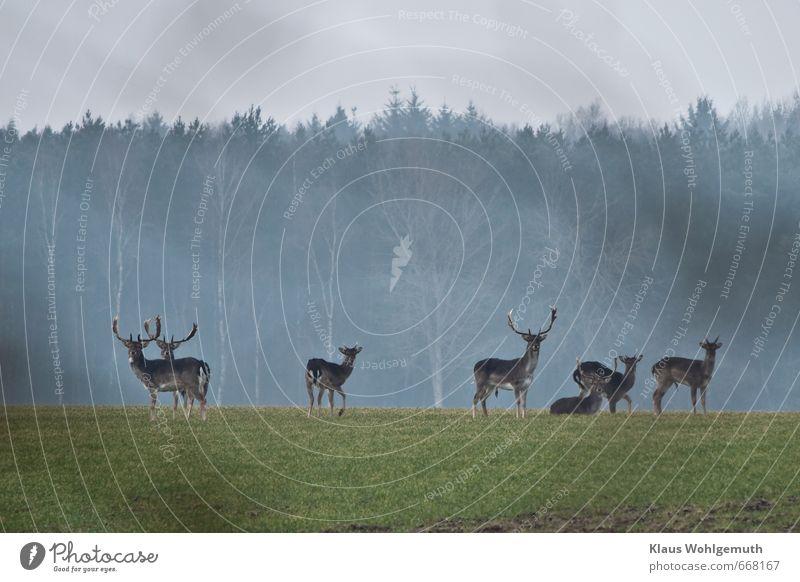 Junggesellenrunde blau grün Tier Winter Ferne Wald Frühling grau Freiheit braun Horizont Feld wild Wildtier stehen beobachten
