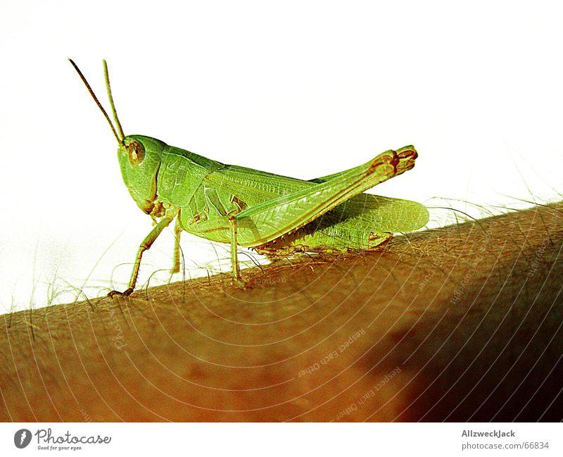 Flipp der flotte Hüpfer grün Sonnenbad Mensch weiß Außenaufnahme Heuschrecke grinst dämonisch hipper hopper Deutschland Arme Haut Haare & Frisuren
