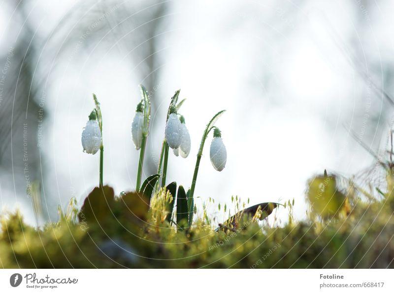 Glöckchen Umwelt Natur Pflanze Urelemente Wasser Wassertropfen Himmel Frühling Schönes Wetter Blume Blüte Garten Park hell grün weiß Schneeglöckchen Frühblüher