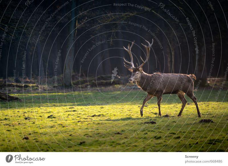 His Majesty Natur grün Baum Landschaft ruhig Tier Wald Gras Frühling gehen braun Kraft elegant Idylle Wildtier Erfolg