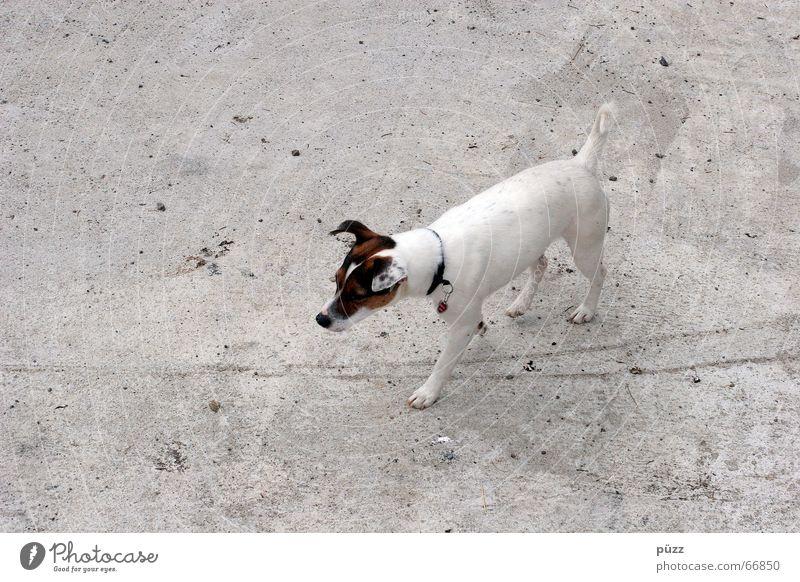 Billy Tier Haustier Hund 1 Beton klein grau weiß Terrier Jack-Russell-Terrier Farbfoto Gedeckte Farben Textfreiraum links Hintergrund neutral Tag Kontrast