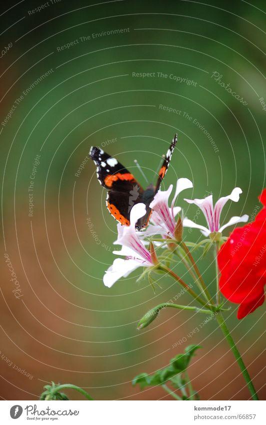 Schmetterling Blume Abheben Blüte Staubfäden Luft Balkon Balkonpflanze Flügel Nektar