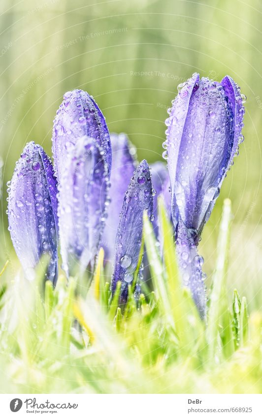 Frühjahrsboten Umwelt Natur Pflanze Erde Wasser Wassertropfen Sonne Sonnenlicht Frühling Schönes Wetter Wärme Blume Gras Blatt Grünpflanze Wildpflanze Blüte