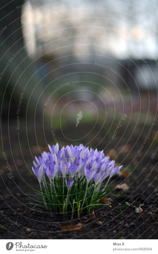 erblüht Blume Blüte Frühling Garten Wachstum Erde Blühend violett Krokusse Frühlingsblume Blumenbeet Frühlingsblumenbeet
