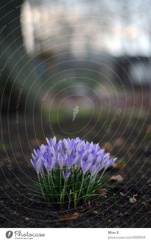 erblüht Erde Frühling Blume Blüte Garten Blühend Wachstum violett Krokusse Frühlingsblume Frühlingsblumenbeet Blumenbeet Farbfoto Außenaufnahme Nahaufnahme