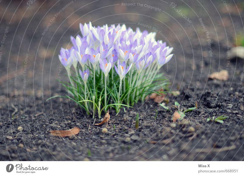 Haufen Garten Umwelt Natur Pflanze Frühling Blatt Blüte Wiese Blühend Duft violett Krokusse Frühblüher Wachstum viele Farbfoto Außenaufnahme Nahaufnahme