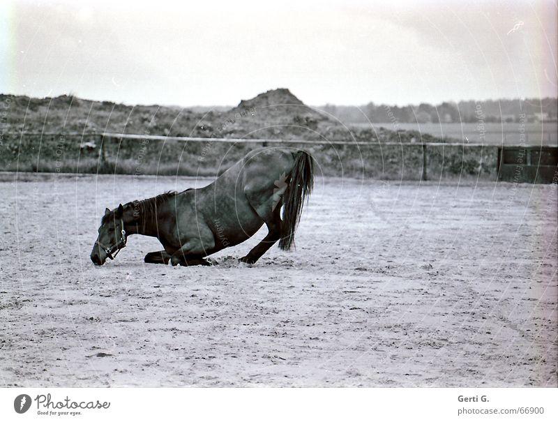 Aufstand Pferd aufstehen Hinterbein Zaun Zaumzeug Pferdeschwanz Tier wälzen perderücken Weide paddock Sand kniefall