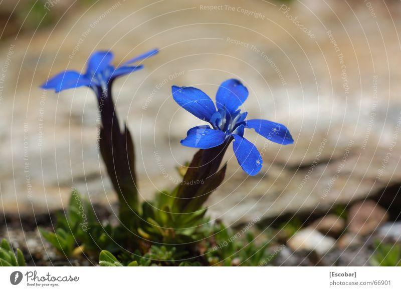 Blau blau blau blüht der Enzian... Blume blau Pflanze Alpen Enziangewächse Ortler