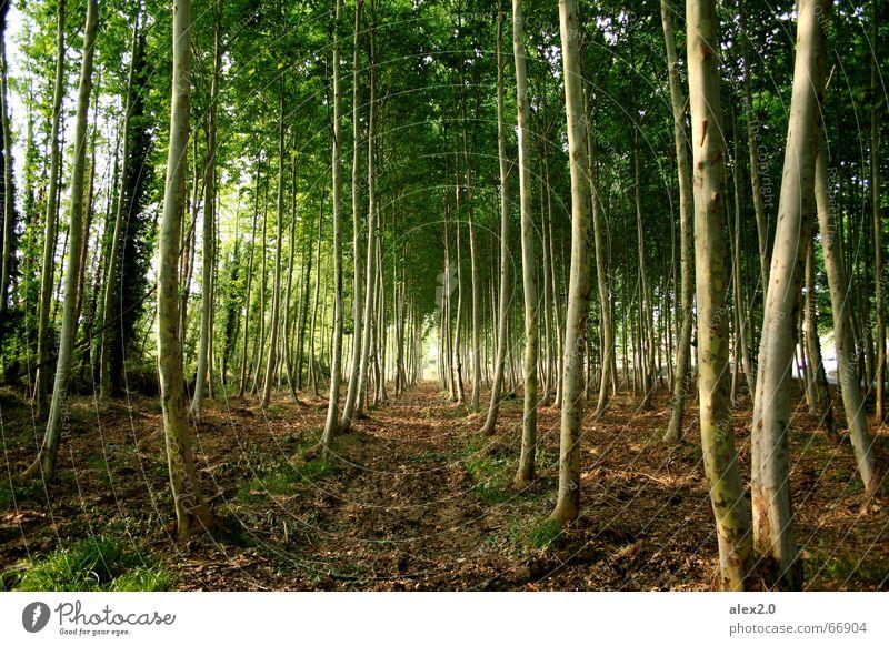 Aufgereiht Wald Baum ankern grün braun Strammstehen parallel Schneise Idylle Pflanze angepflanzt Natur Linie Reihe symetrisch symetrie