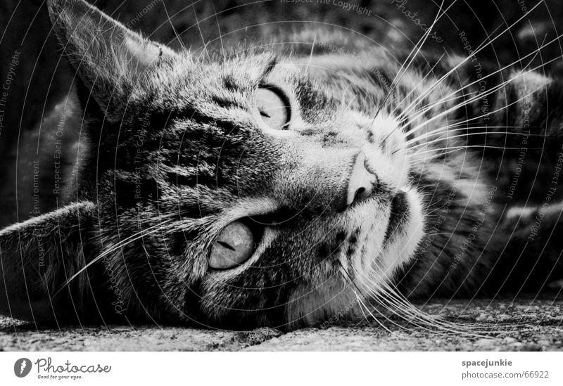 just a cat (3) Katze Tier Katzenkopf Haustier Hauskatze Außenaufnahme Fell Wildnis Wildkatze Raubkatze Pfote Katzenpfote Auge Katzenauge Blick katzenfell