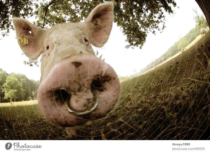 coole sau Sommer Leben Glück lustig rosa Zufriedenheit dreckig Nase frei süß Elefant Ohr Freundlichkeit Landwirtschaft Weide Schmuck