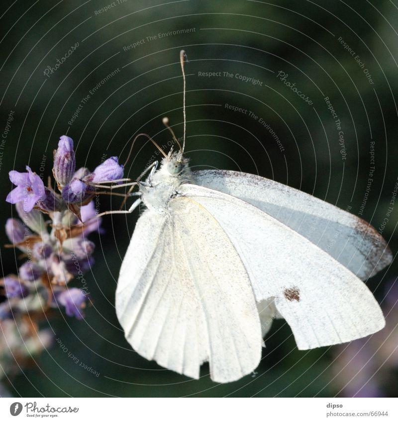 Pieris brassicae weiß blau Blüte Schmetterling Lavendel Staubfäden saugen Rüssel Nektar Heilpflanzen Großer Kohlweißling