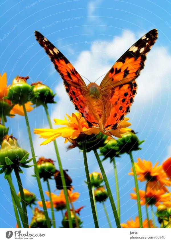 Frei sein Schmetterling Blume Wolken Sommer mehrfarbig schön Flügel Himmel Freiheit fliegen Farbe jarts