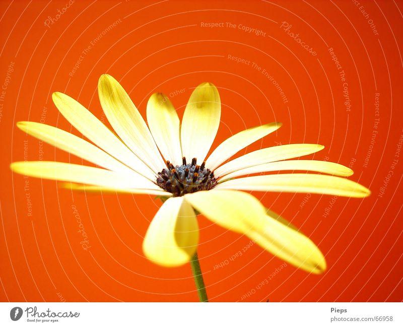 Colours Of Summer Farbfoto Innenaufnahme Makroaufnahme Textfreiraum oben Hintergrund neutral Sommer Natur Pflanze Blume Blüte Blühend leuchten gelb rot