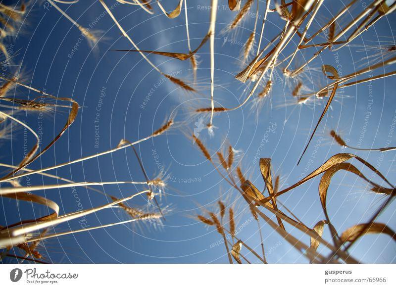 {bed full of corn II} Natur schön Himmel blau Pflanze Sommer Freude Ernährung Erholung Glück träumen Wärme Luft Zufriedenheit Feld Wind