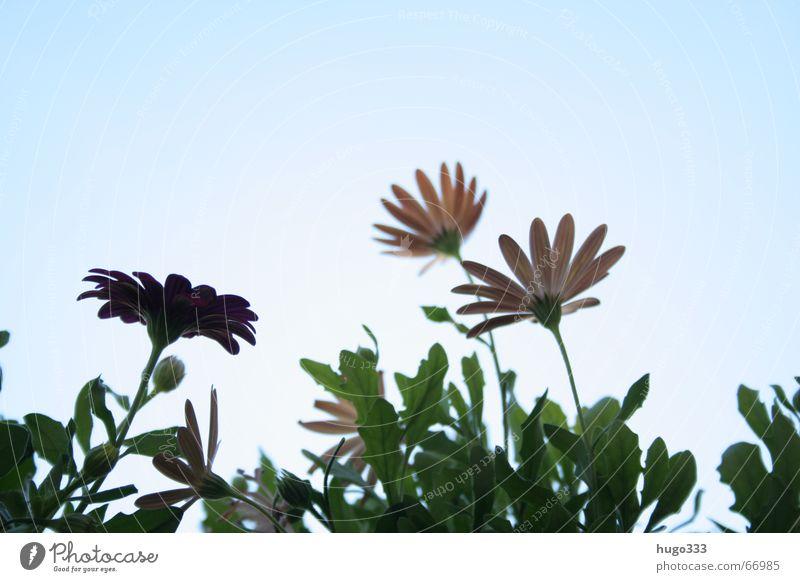 Leucanthemum Blume Margerite Himmel trocken zart weich himmelblau durcheinander grün Stengel rosa rot Rouge flower sky dry bleu blue der sonne entgegen sun vert