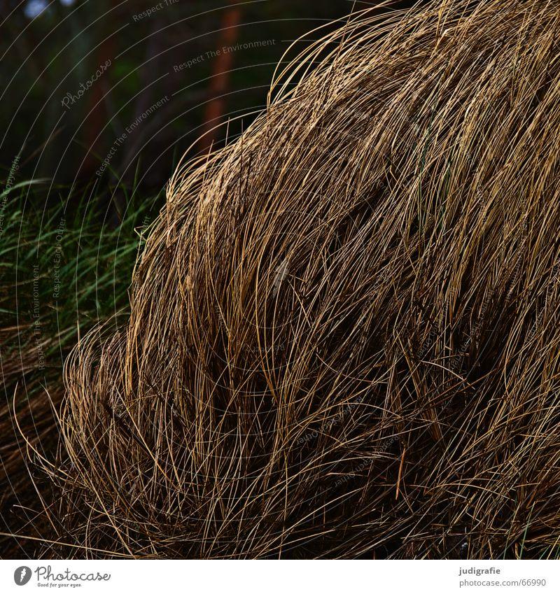 Gras biegen Halm Sturm weich dunkel Haarsträhne Wachstum Licht Strand Umwelt trist Wiese Wildnis grün Stengel beweglich zart Küste Wind Natur Leben Abend Ostsee