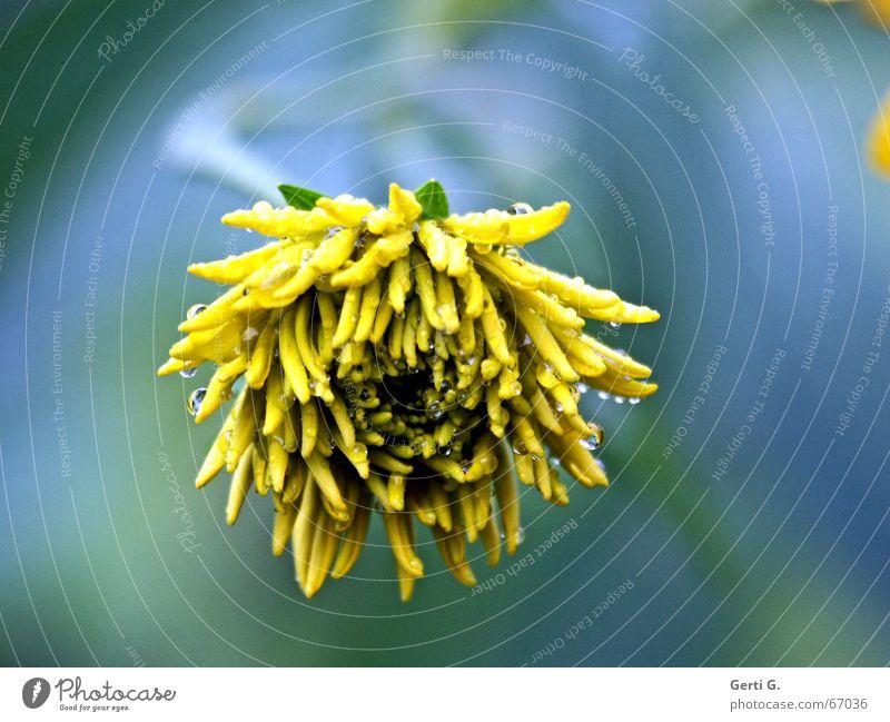 just can't wait until tonight, babe zart gelb grün Blume Blühend Regen nass Wassertropfen Farbe Stengel blau flower wet wet wet wet hintergrundunschärfe