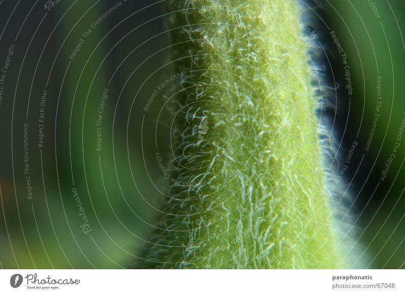 Macro Stengel ;-) Blume Pflanze Sonnenblume Dorn kratzig Makroaufnahme Beleuchtung Härchen grün Gras Lichtspiel tief Haare & Frisuren Garten Natur
