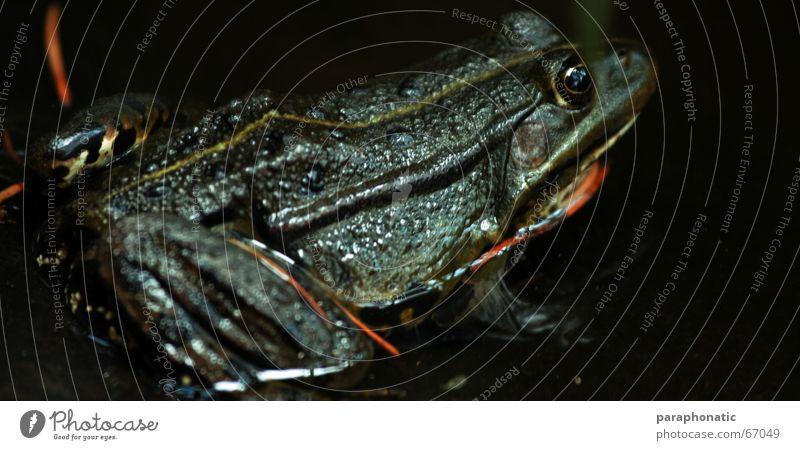 Froschkönig dunkel Glätte schleimig grün Froschauge Teich See Tier Ekel schön Küssen Kröte orange Auge Haut Wasser Natur glänzend Schatten