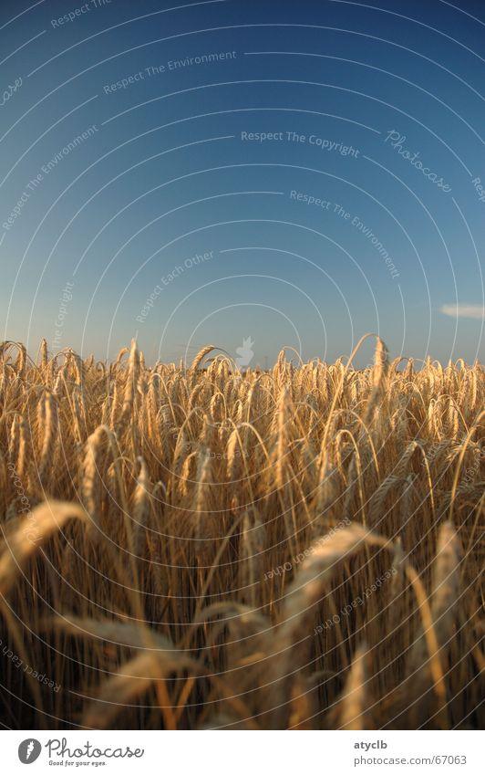 Sommerabend Wolken Feld Weizen Gerste Abenddämmerung reich Romantik Außenaufnahme Himmel ernde blau wolkenlos Ernte Leben Freiheit
