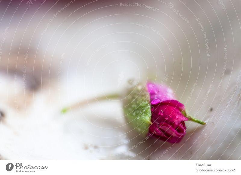 Das Röslein Natur Pflanze Frühling Sommer Rose Blüte natürlich schön rosa Farbfoto Nahaufnahme Unschärfe