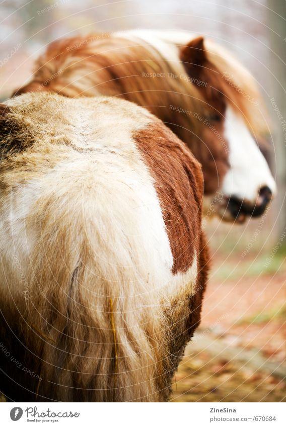 Ferdi Sport Reiten Natur Tier Pferd 1 natürlich schön wild weich braun Farbfoto Außenaufnahme
