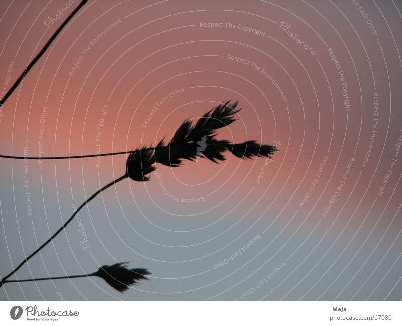 Silhouette Himmel blau Gras rosa Halm Abenddämmerung