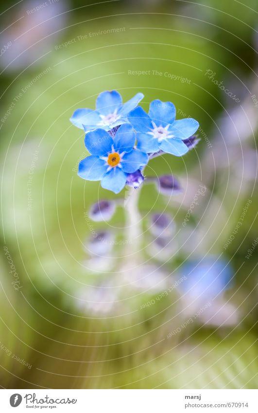 VMN Natur blau Pflanze schön Blume Freude Blüte natürlich klein glänzend Wachstum leuchten Erfolg authentisch frisch Fröhlichkeit