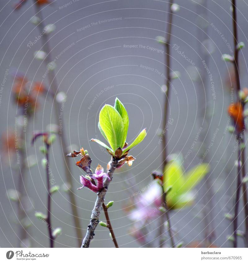Treibende Kraft Frühling Pflanze Sträucher Blatt Blüte Wildpflanze Blütenknospen Trieb Garten Linie Wachstum frisch hell grün Frühlingsgefühle Beginn