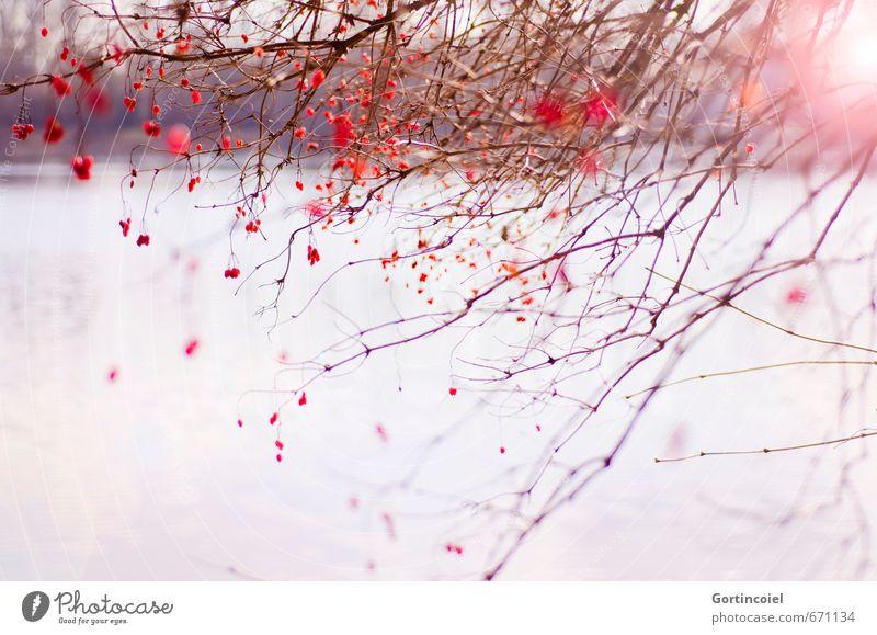 Red Berries Natur Pflanze schön Sonne Baum rot Landschaft Winter Umwelt See Sträucher Schönes Wetter Seeufer Zweige u. Äste Naturschutzgebiet Schwache Tiefenschärfe