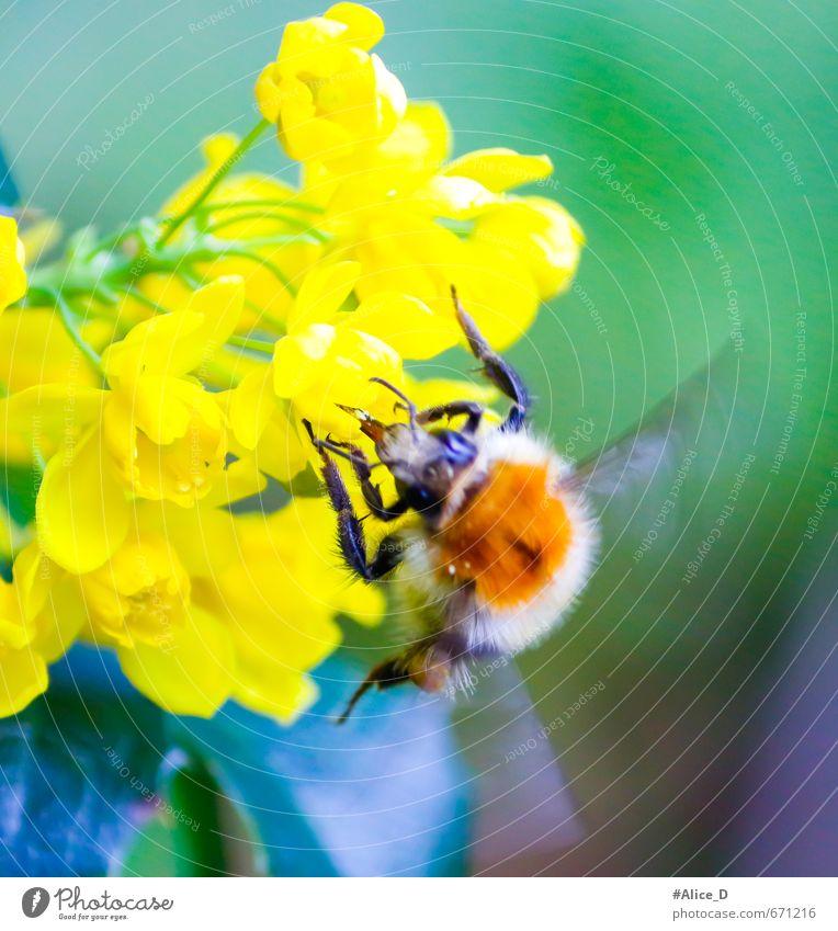 Hummel beim Nektar Sammeln Natur Pflanze Tier Frühling Sommer Blume Sträucher Blüte Garten Biene 1 hell schön mehrfarbig gelb grün violett Farbfoto