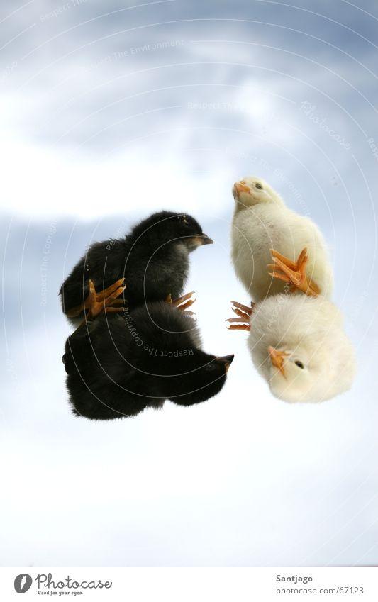 black&white Himmel weiß schwarz Vogel klein süß niedlich Haushuhn Tier