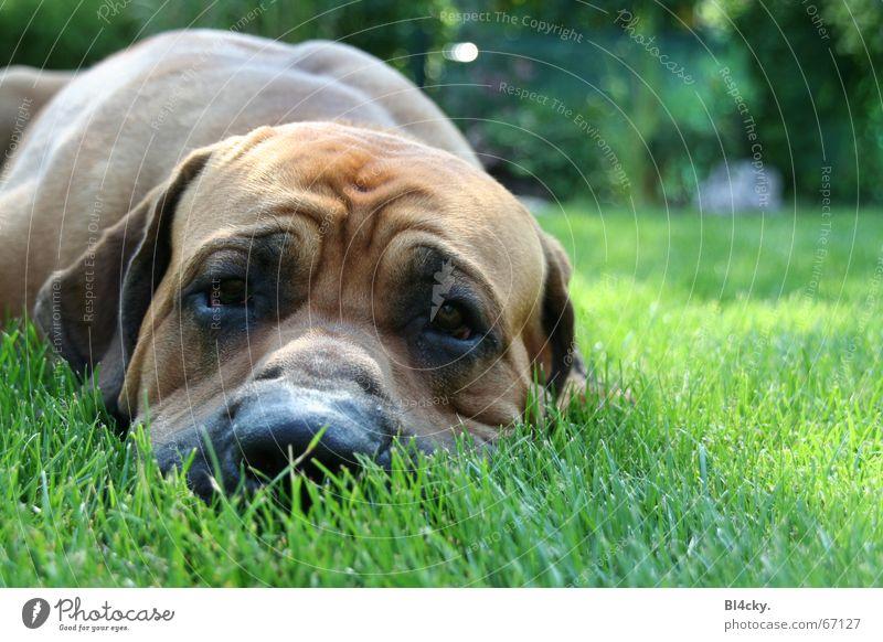 Endlich Ruhe! Gras Hund braun grün Dogge Schnauze fila brasilero Dogo Argentino Blick ruhig Hundeblick Hautfalten Hängeohr Farbfoto Außenaufnahme